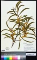 Image of Acacia cunninghamii