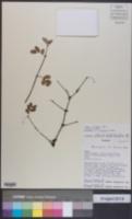 Image of Bulnesia foliosa
