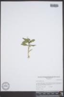 Gratiola neglecta image