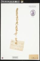 Sideritis romana image