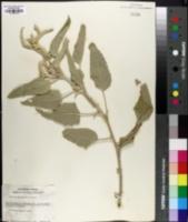 Image of Croton albinoides