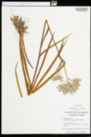 Lachnanthes caroliana image