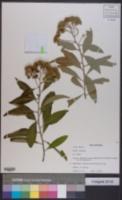 Image of Pluchea carolinensis