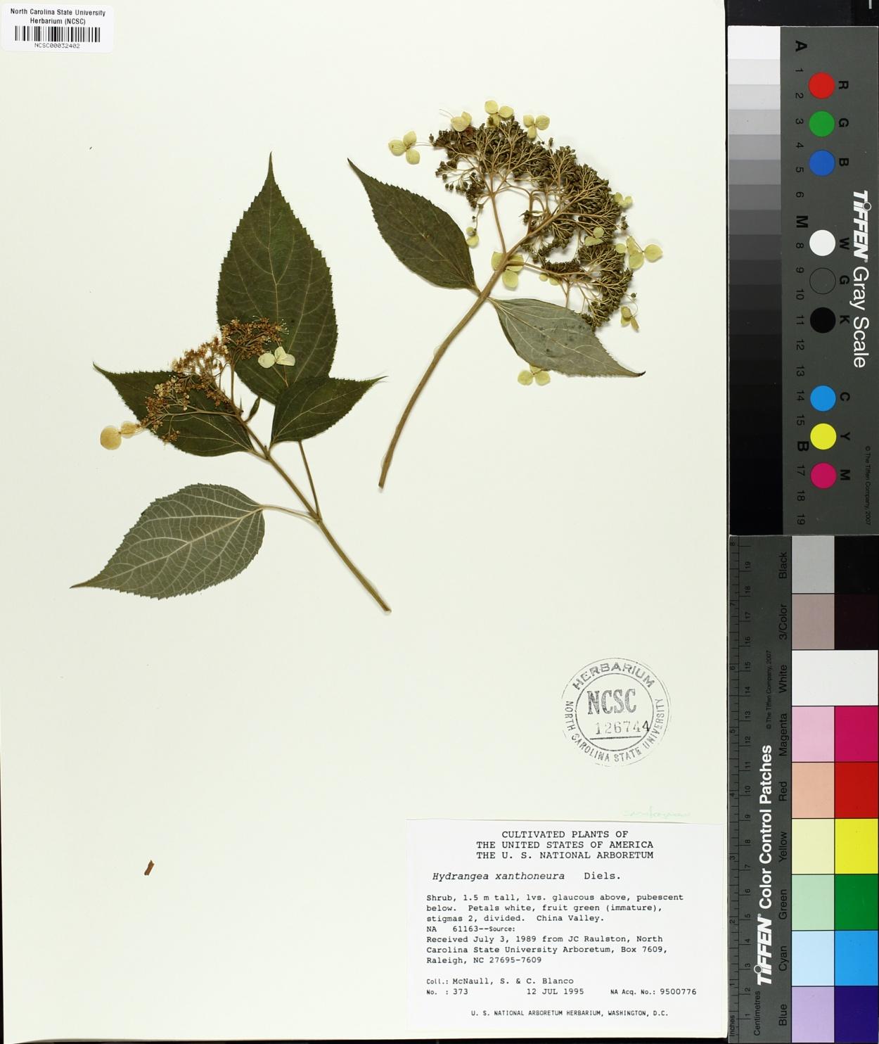 Hydrangea xanthoneura image
