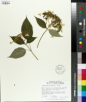 Image of Hydrangea xanthoneura