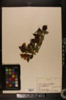 Image of Lonicera caprifolium