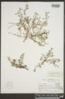 Oldenlandia boscii image