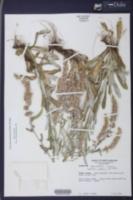 Gamochaeta americana image