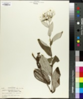 Image of Anaphalis triplinervis