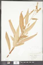 Persicaria robustior image