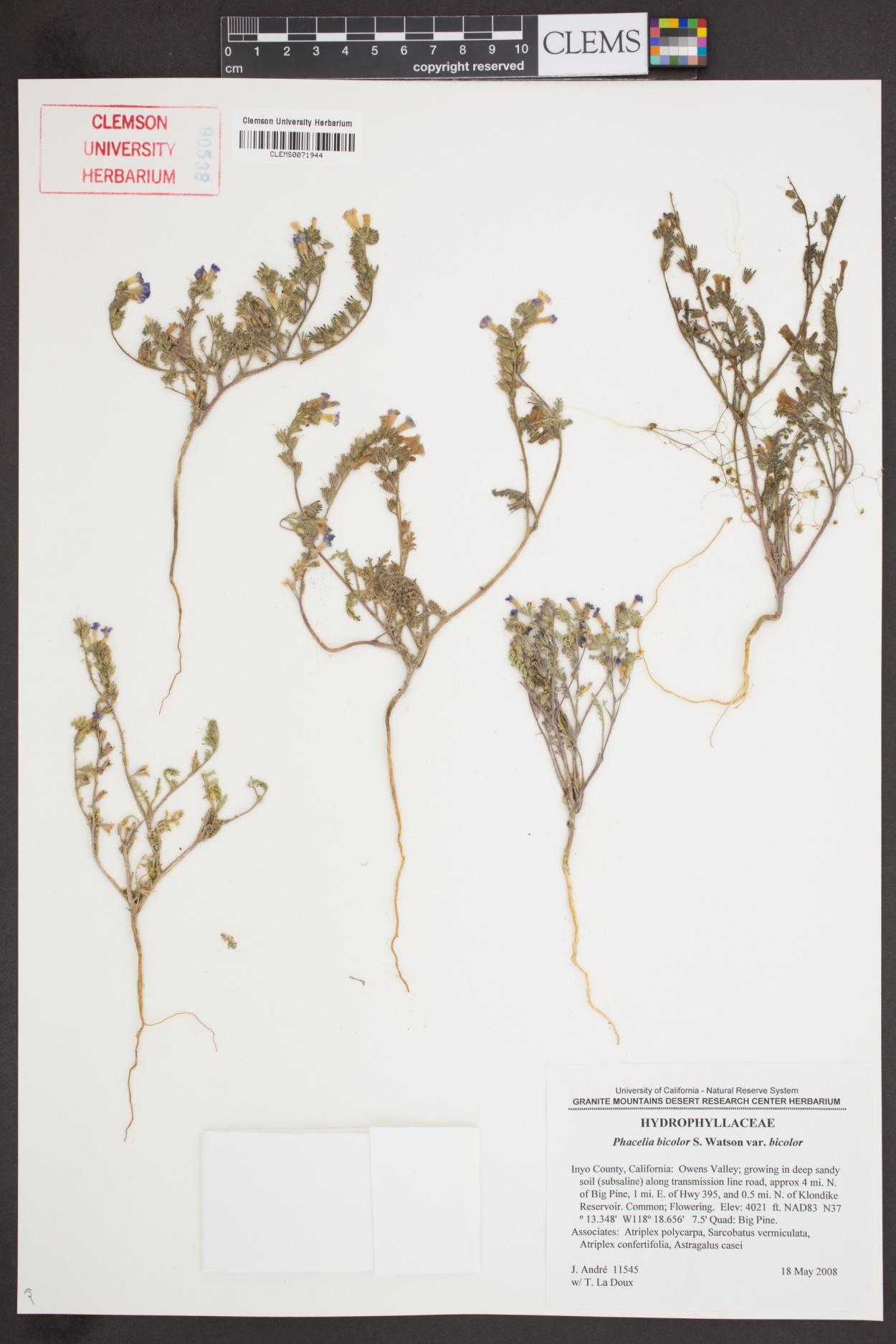Phacelia bicolor var. bicolor image