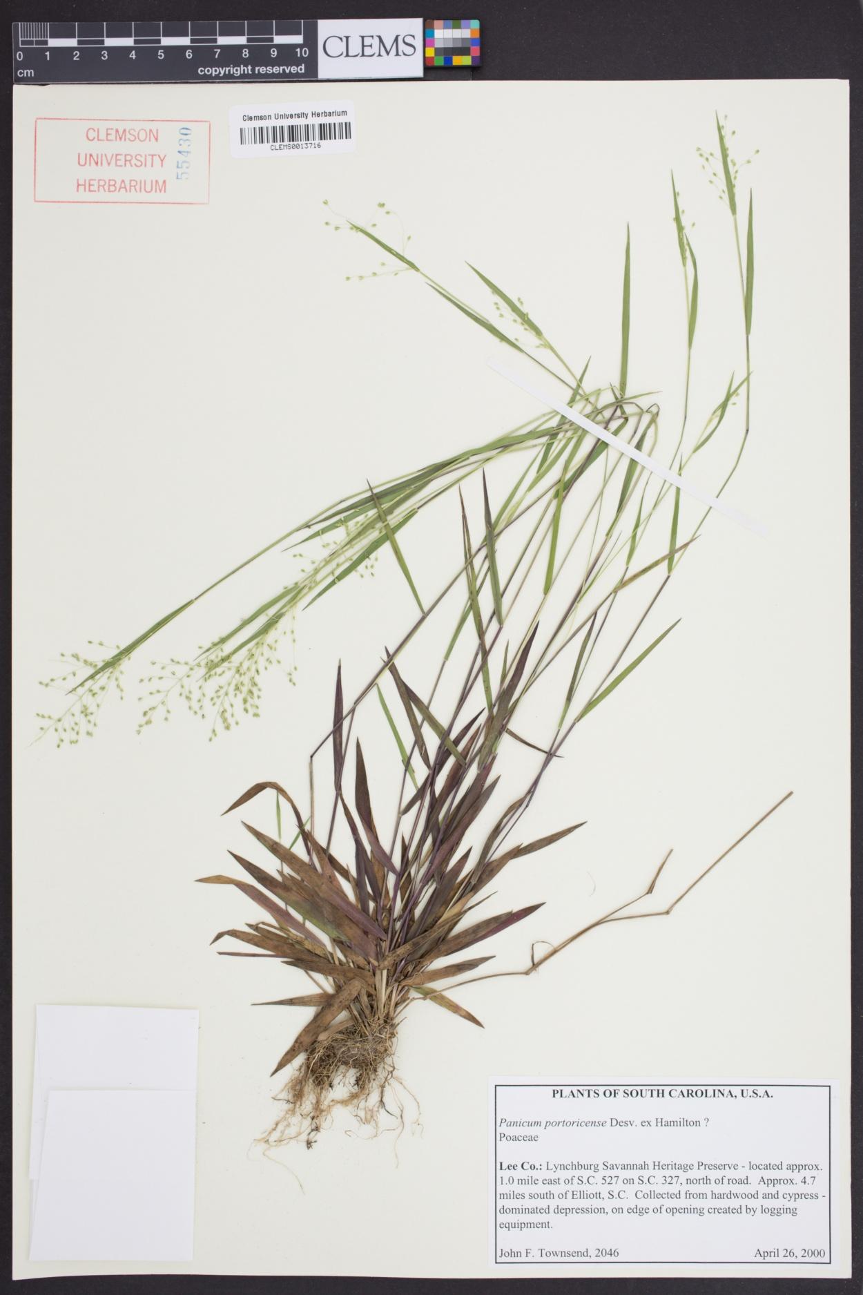 Dichanthelium portoricense image