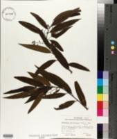 Image of Nectandra salicifolia