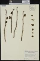Asimina triloba image