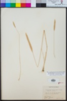 Gastridium phleoides image