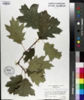 Quercus x fernaldii image