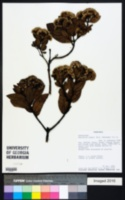 Image of Ageratina jahnii