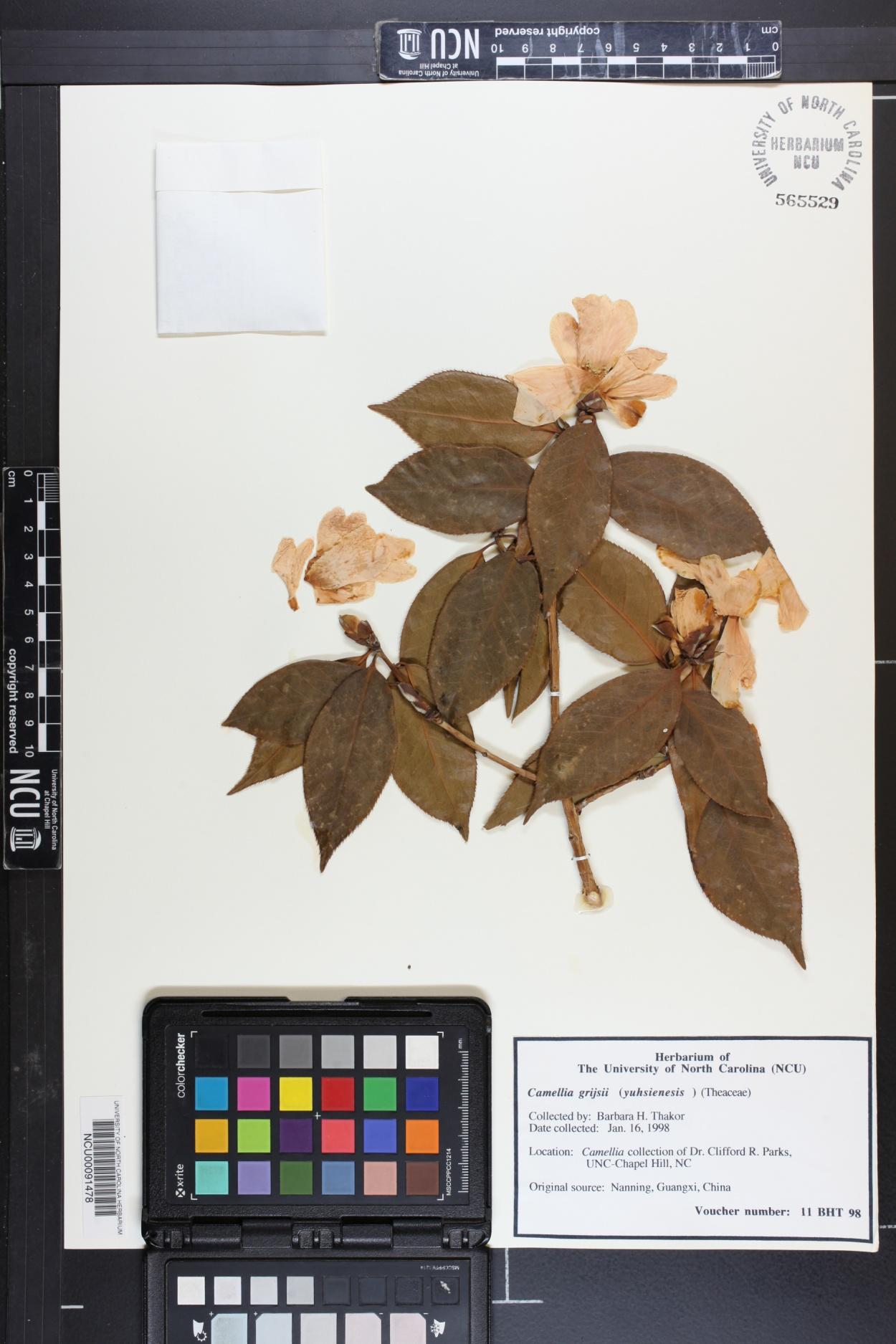 Camellia grijsii image