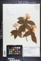 Image of Camellia grijsii