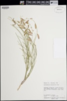 Astragalus episcopus var. lancearius image