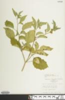 Physalis virginiana var. virginiana image