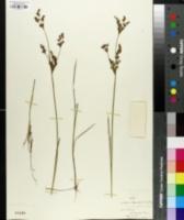Juncus canadensis var. coarctatus image
