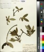 Image of Wikstroemia oahuensis