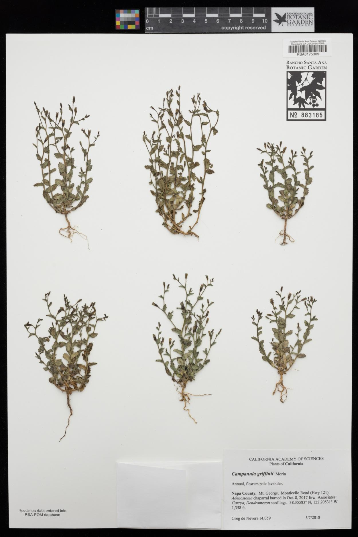 Campanula angustiflora image