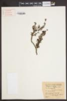 Image of Eriogonum parvifolium