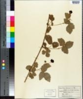 Image of Rubus baileyanus