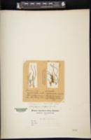 Image of Stenogrammitis myosuroides
