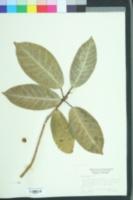 Image of Ficus aurea