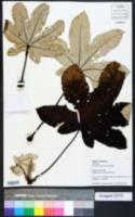 Image of Cecropia engleriana