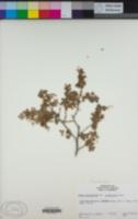 Image of Ribes lasianthum