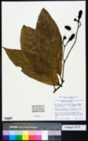Image of Nectandra rubriflora
