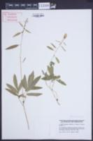 Cardamine bulbifera image