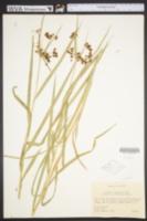 Scirpus polyphyllus image