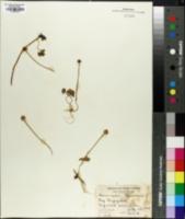 Image of Ranunculus lapponicus
