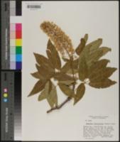 Aesculus californica image