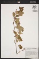 Image of Ribes nevadense