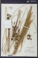 Juncus roemerianus image