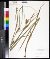 Carex atherodes image