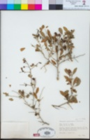 Schoepfia californica image