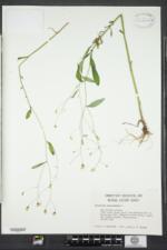 Hieracium paniculatum image