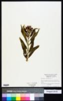 Asclepias curassavica image