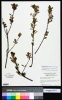 Photinia floribunda image