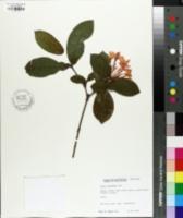 Image of Ixora chinensis