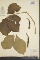 Image of Cussonia arborea