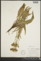 Crepis runcinata subsp. glauca image