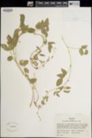 Rhynchosia senna image